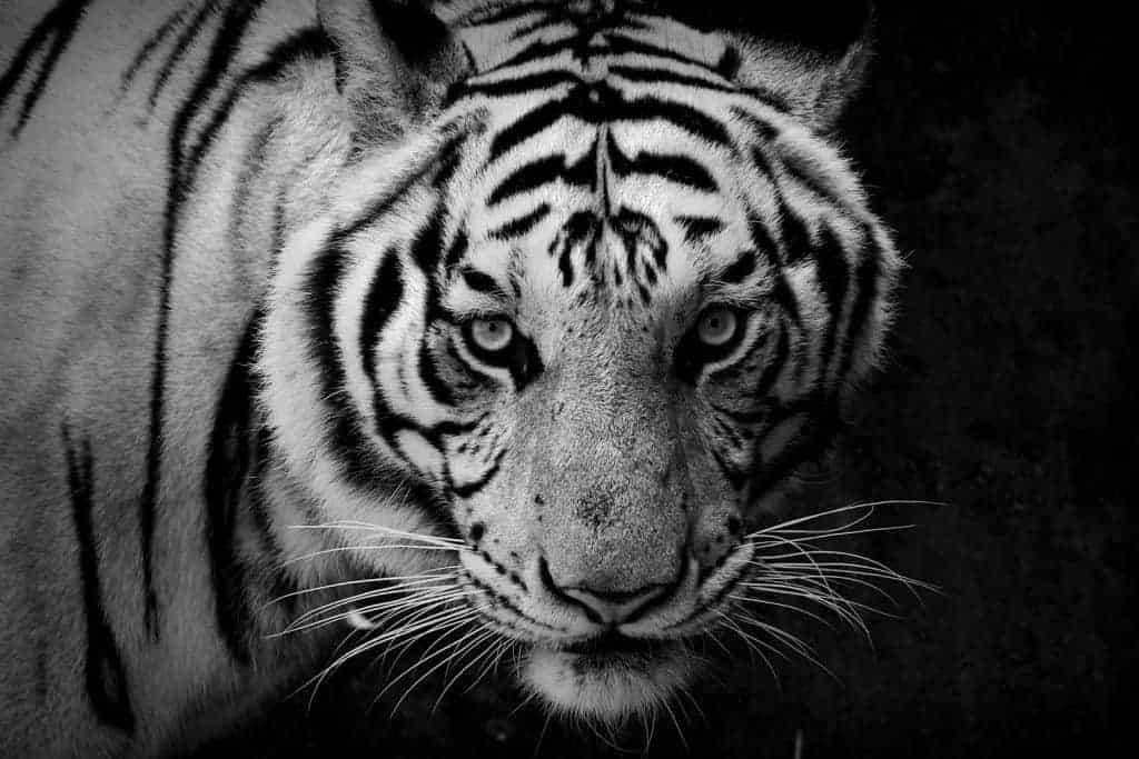 Tiger_Startseite